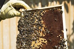 Bee colony on a honeycomb