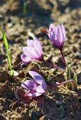 Saffron crocuses growing in the soil