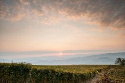 Vineyard at Sunrise, Italy