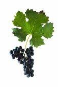 Cabernet franc grapes with a vine leaf