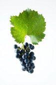 Zweigelt grapes with a vine leaf
