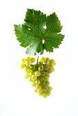Kerner grapes with a vine leaf