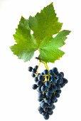 Gamaret grapes with a vine leaf