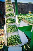 Brussels sprouts being sorted by machine