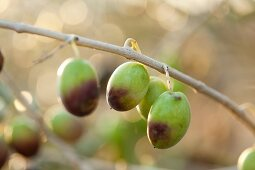 Semi-ripe olives hanging on a sprig