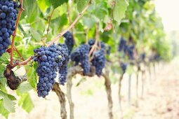 Red wine grapes on a vine