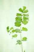 Burnet leaves
