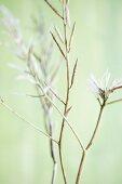 Seedpods from field mustard (sinapis arvensis)