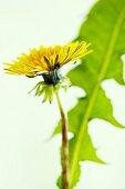 A dandelion (close-up)