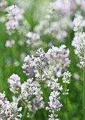 Weisser Lavendel (Lavandula angustifolia alba)