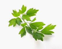A sprig of lovage