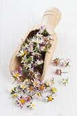 Dried daisies in a wooden scoop for making daisy tea