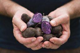A man holding freshly harvested purple Vitelotte potatoes