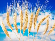 Ears of wheat against a cloudy blue sky