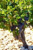 Rebstock vom Weingut Beaucastel in der Appellation Chateauneuf-du-Pape, Frankreich