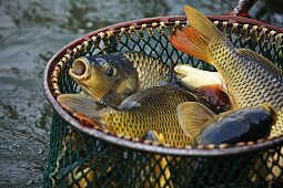 Freshly caught carp in a hand net