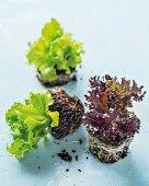 Young lettuce plants in soil