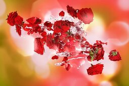 Red roses with a splash of water