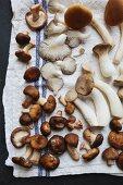 King trumpet, piopinni, maitake, shitake, oyster and matsutake mushrooms on a white tea towel