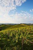 A vineyard in Southern Styria, Austria