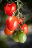 Ripe plum tomatoes on a vine