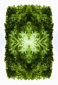 A digital composition of mirrored images of mixed lettuce leaves