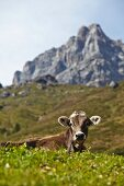 A cow on the alps in Tyrol