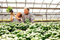 A grandfather and granddaughter checking pots of basil in a greenhouse