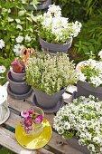 Weiß blühende Blumen und Kräuter in grauen Tontöpfen auf dem Gartentisch