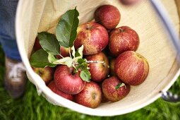Freshly harvested apples in a net