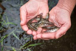 Young tiger trout in a person's hand