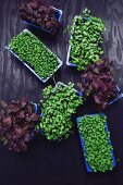 Various fresh sprouts and cress in plastic trays