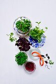 Various fresh sprouts and cress in glass jars