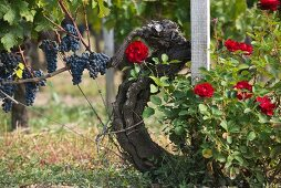 Red grapes on a vine with flowering red roses