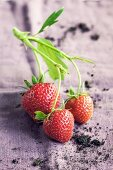 Three strawberries on the stalk