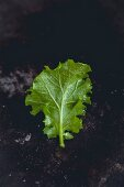 A young kale leaf on a dark surface