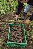 Black salsify being harvested