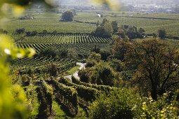 Vineyards in Deidesheim, Rhineland-Palatinate, Germany