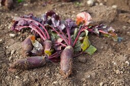 Freshly harvested Forono beetroots in a field