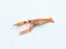A Norway lobster on a white background