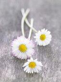 Frische Gänseblümchen