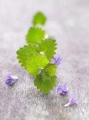 Gundelrebe mit Blatt und Blüten