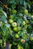 Green apples in a tree