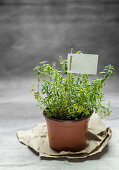 Fresh winter savory in a flowerpot