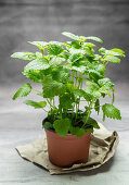 Fresh lemon balm in a flowerpot