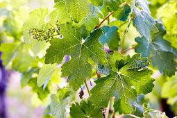 Unripe grapes on a vine in spring