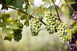 Grapes ripening on a vine