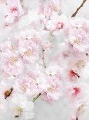 Rosa Kirschblüten am Zweig