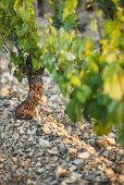 Jurassic limestone terrain is a perfect match for Chardonnay