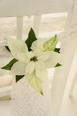 Christmas white poinsettias with lace ribbons decorating chair backs